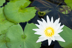 White lotus flower over the water and lotus leaves Stock Photography