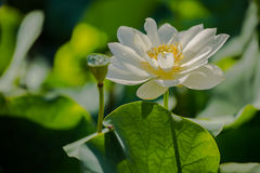 White Lotus. Flower in a pond stock image