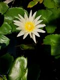 White Lotus. Flower in the pond Stock Photos