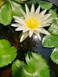 White Lotus. Flower in the pond Stock Photography