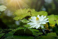 White lotus flower in the pond Royalty Free Stock Images