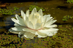 White Lotus Flower in a Pond Royalty Free Stock Image