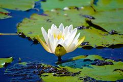 White lotus flower on pond picture Royalty Free Stock Images