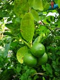 Green lime stock photography