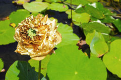 White lotus flower rot in nature. Royalty Free Stock Images
