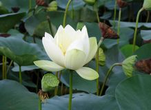 White lotus flower and seedpods Royalty Free Stock Image