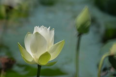 White lotus flower starting to bloom. It's seldom to see white lotus in this lake together with a flowerbud in the same frame Royalty Free Stock Photography