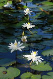 White lotus flower. In swamp Stock Image