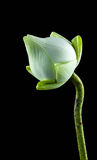 White lotus flower in a vase Stock Images