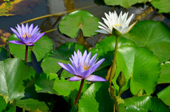 White lotus flower and violet water lily blossom with Molly fish Stock Image