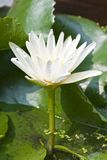 White Lotus flower. Lotus flower was very important in the religion. Meaning creation and rebirth stock images