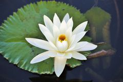 White lotus flower. In the water Royalty Free Stock Images