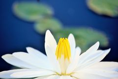 White lotus flower. In the water Stock Image