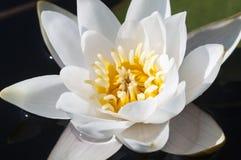 White Lotus flower on water stock photo