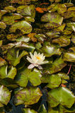 White Lotus Flower water lily Royalty Free Stock Photos