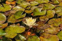 White Lotus Flower water lily Stock Photos