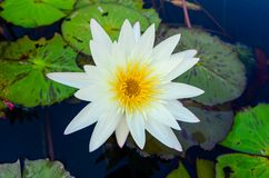 White lotus flower with yellow pollen blooming in pool Stock Photo
