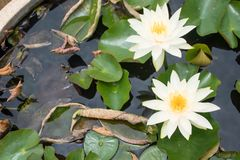 Colorful lotus flower stock photo