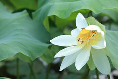 White lotus flowers blooming at pond Royalty Free Stock Photos