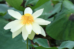White lotus flowers blooming at pond Stock Photography