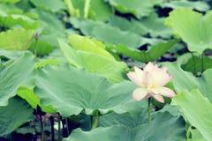 White lotus flowers blooming at pond Royalty Free Stock Image