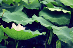 White lotus flowers blooming at pond Royalty Free Stock Photo