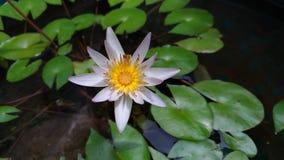 White lotus flowers are blooming. White lotus flowers are blooming royalty free stock photos