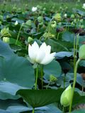 White lotus flowers, buds and seedpods Royalty Free Stock Images