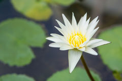 White lotus. Lotus flowers enjoy warm sunlight and are intolerant to cold weather. This is why the Lotus is not seen blossoming in the winter Royalty Free Stock Images