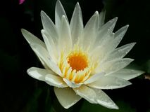 White lotus flowers are full bloom,very beautiful. royalty free stock image