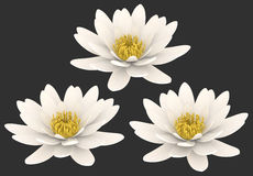 White lotus flower isolated background. Three pure blooming white water lily flowers. Purity, cleanliness, well being, wisdom, spa element. PNG with transparent Royalty Free Stock Images