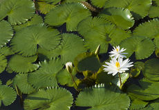 White Lotus. Flowers and leaves on a pond Royalty Free Stock Images