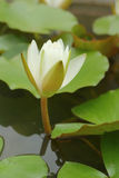 White lotus flowers in the nature Stock Image