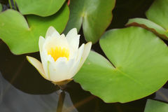 White lotus flowers in the nature Royalty Free Stock Images