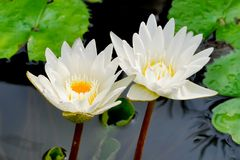 White lotus. Flowers in the river Royalty Free Stock Image