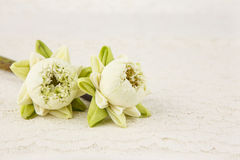 White lotus with fold petal on white Royalty Free Stock Photography