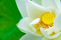 White lotus in full bloom Royalty Free Stock Photography