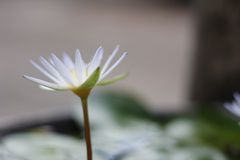 White lotus. In the garden royalty free stock photography