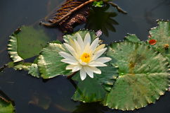 White lotus. In the garden in the city Royalty Free Stock Photography