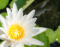 White lotus green background. Stock Image