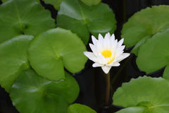 White lotus and green leaf Stock Image