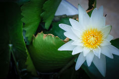 White lotus and green leaf. In pondsn Royalty Free Stock Image