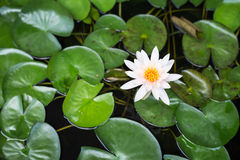 White lotus with green leaf in water pond, Top view Royalty Free Stock Photography