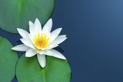White lotus. Stock Photos