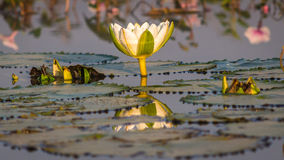 White Lotus, green leaves lilly Royalty Free Stock Images