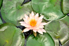 White lotus with green leaves Stock Photography