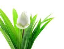 White lotus. With green screw pine Stock Photo