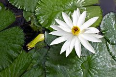 White lotus grows Royalty Free Stock Photos