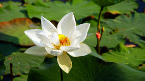 White lotus. The white lotus is growthing on the river royalty free stock image