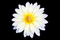 White lotus, Isolated on black Stock Image
